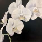 Sandra Iafrate, White Orchids on Black